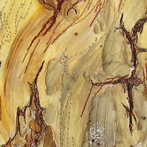 pinus concorta _30 x 30cm_2011