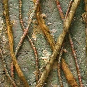 ficus benjamina_30 x 30 cm_2011